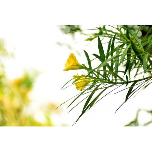 Datura flower