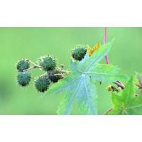 Green Spiky Fruits