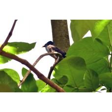 Bulbul Bird