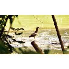 Indian Water bird
