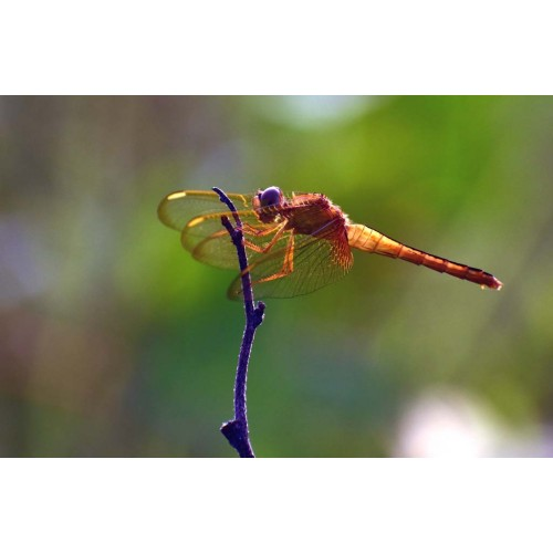 Dragon Fly #72