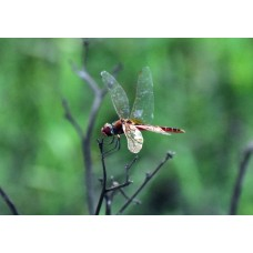 Dragon Fly #80